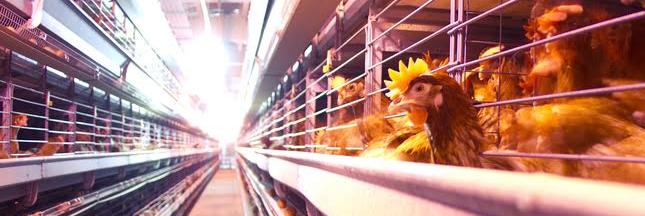 Alimentation : Aldi supprime les oeufs de poule en cage de ses rayons