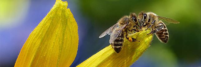 abeilles la nouvelle esp ce en voie de disparition. Black Bedroom Furniture Sets. Home Design Ideas