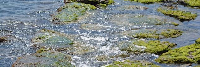 Les algues sont-elles surexploitées elles aussi?