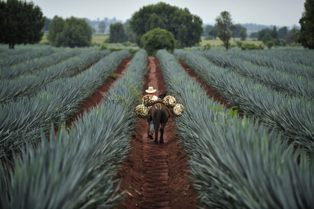 sirop agave