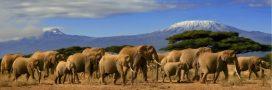 Les éléphants d'Afrique toujours en voie de disparition!