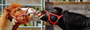Des chevaux apprennent à communiquer avec les hommes