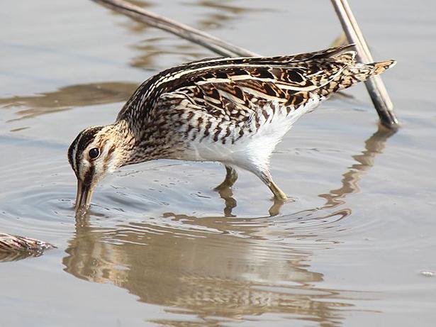 oiseau nicheur, bécasse des marais,  Gallinago gallinago