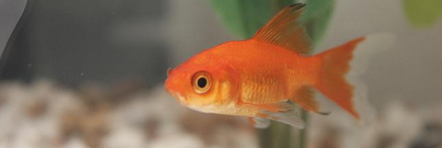 Ne rel chez pas votre poisson rouge dans une rivi re for Nom poisson rouge
