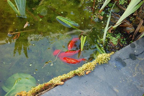 poissons rouges, frai, étang, rivière, relâcher poisson rouge