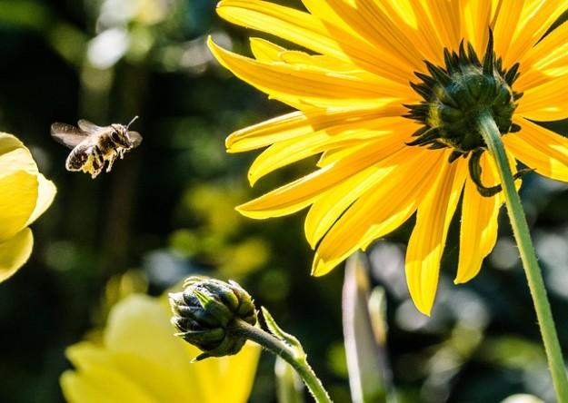 abeilles, espèce en voie de disparition, pollenisation