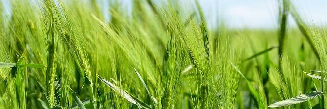 Monsanto planche sur de nouveaux OGM qui inquiètent