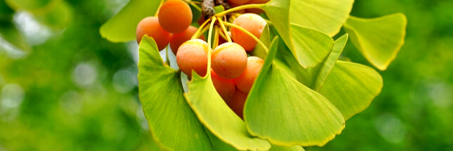 Découvrez les feuilles du Ginkgo, l'arbre de jouvence