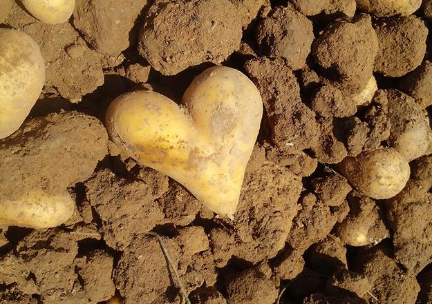 glanage, récolte, pomme de terre