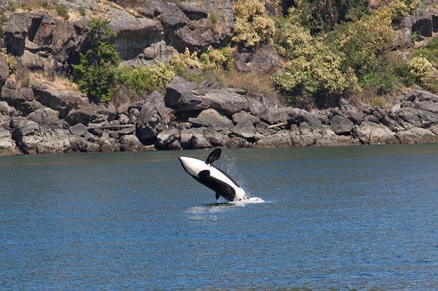 orque, cétacé, mammifère marin