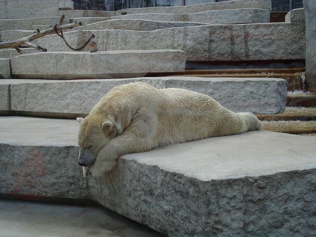 ours polaire, ours blanc, zoo, captivité