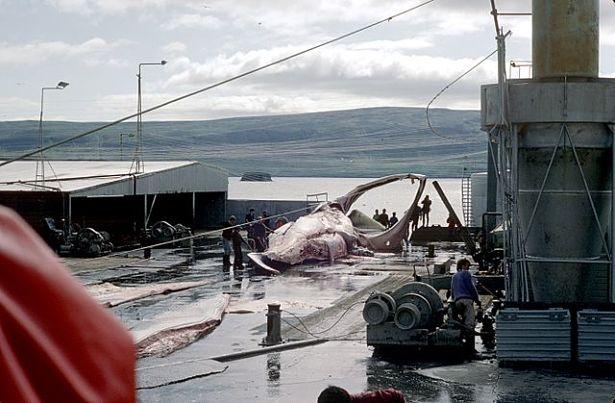chasse à la baleine, sanctuaire baleinier, CBI