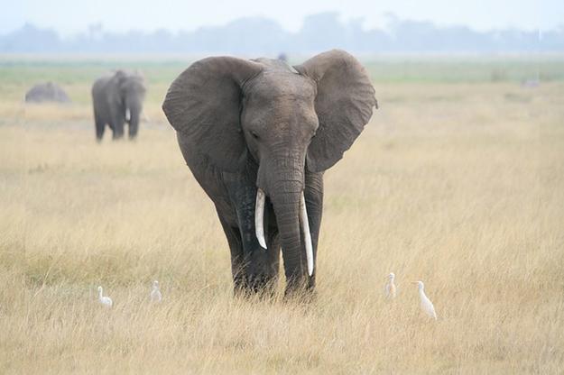 éléphants d'Afrique, espèce protégée