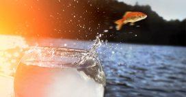 Ne relâchez pas votre poisson rouge dans une rivière!