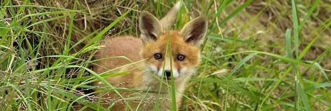 Des centaines de milliers de renards abattus chaque année