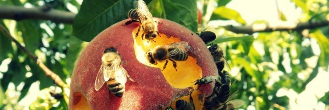 Abeilles : un traitement contre les insecticides