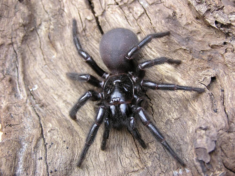 mygale atrax robustus, une araignee dangereuse