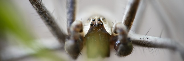 Les 5 araignées les plus dangereuses du monde