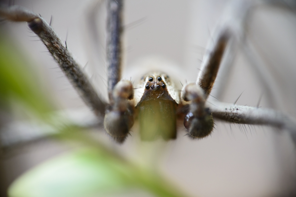 araignee recluse brune, une araignee dangereuse