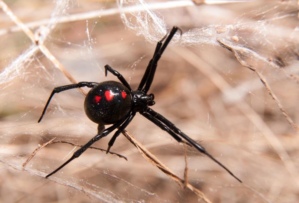 veuve noire, une araignee dangereuse