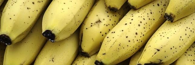 La banane va t-elle disparaître ?