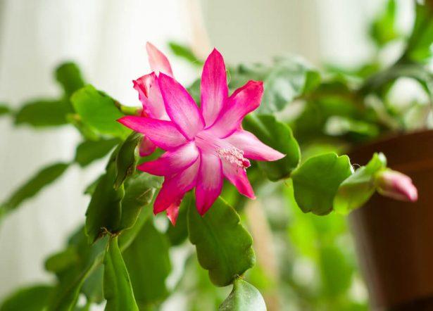 cactus de Noël, Schlumbergera