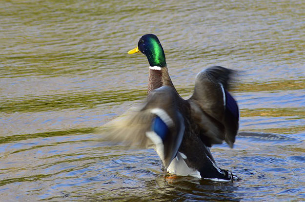 canards-sauvages-grippe-aviaire