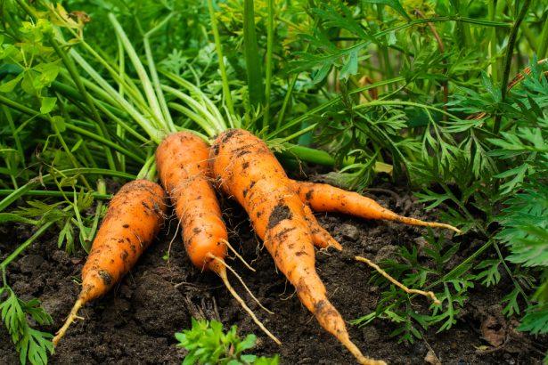 carottes, légumes de saison en novembre