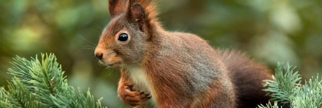 Au Royaume-Uni, les écureuils sont porteurs de la lèpre