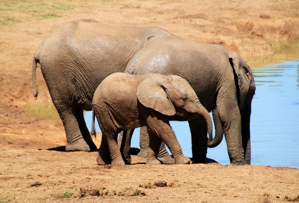 éléphants, éléphanteau