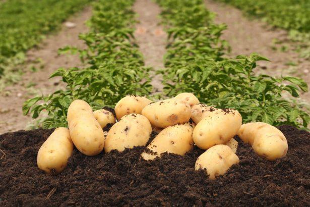 légumes de saison en novembre, pommes de terre