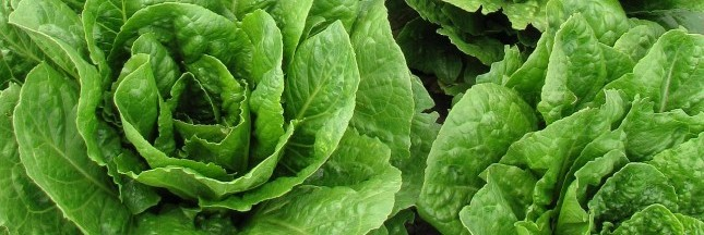 La salmonelle infeste les salades en sachet