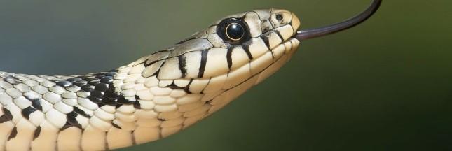 Un nouvel antidouleur à base de venin de serpent?