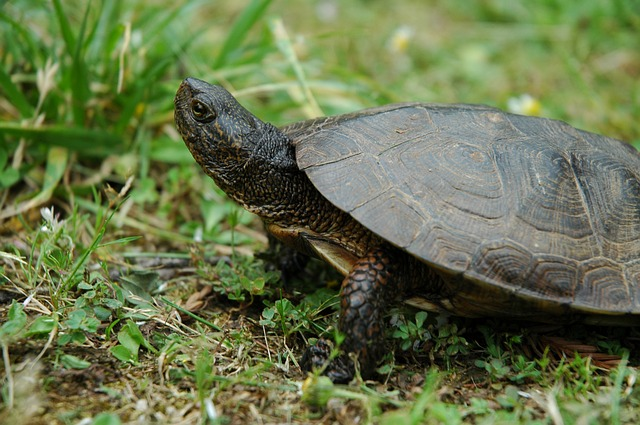 adopte tortue