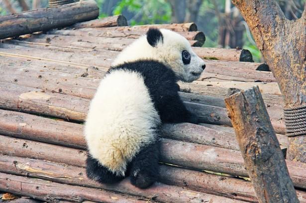 panda, pan pn
