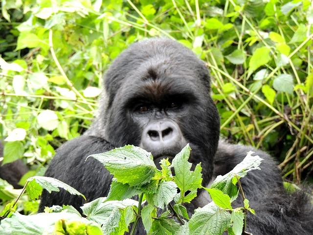 le rwanda gorille
