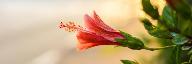 hibiscus d'intérieur, plante décembre