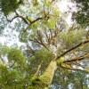 L'arbre de l'année 2017 est un chêne polonais