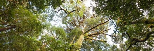 Incroyables découvertes: les plus grands arbres du monde
