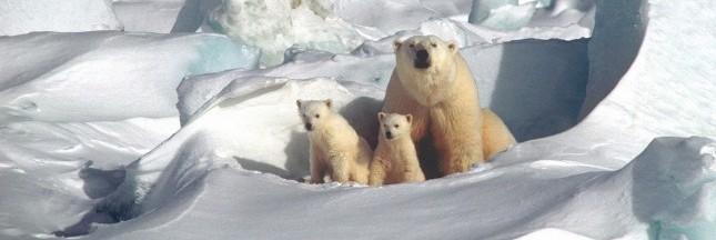 Un tiers des ours polaires disparaîtront d'ici 40 ans