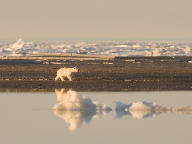 un tiers des ours polaires