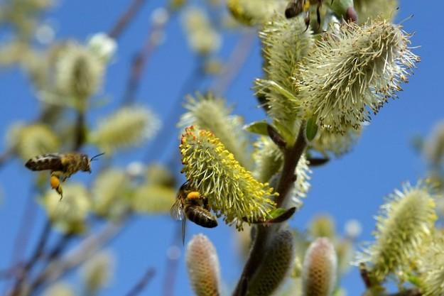 pollinisateurs, abeilles