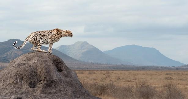guépard, extinction