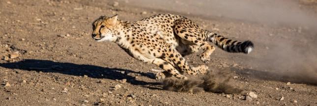 Le guépard: un animal en voie d'extinction