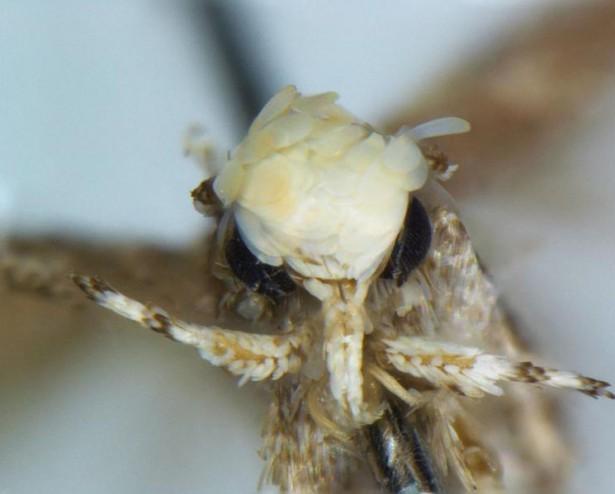 Neopalpa donaldtrumpi