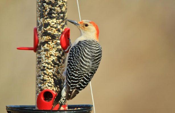 comptage national oiseaux