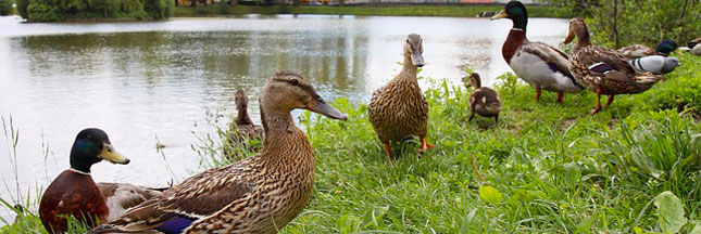 Grippe aviaire : 1 million de canards seront abattus