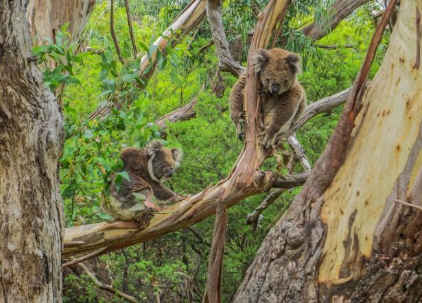 Les koalas sont plutôt contents © Nolleks86 Shutterstock