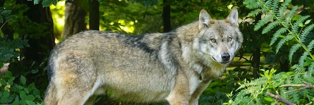Plusieurs loups ont été repérés autour de Paris