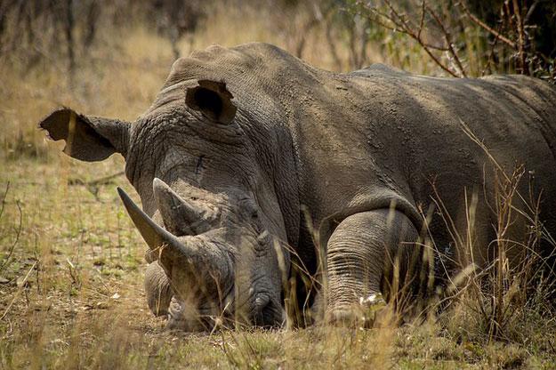 rhinoceros-braconnage